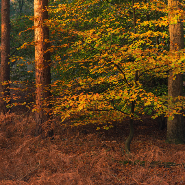 """Pine trees and beech trees with autumn leaves i."" stock image"