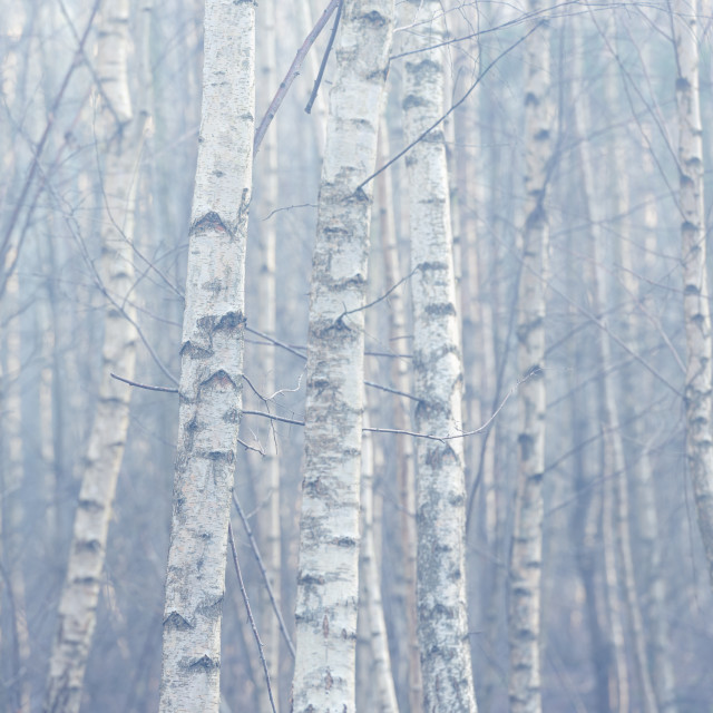 """Silver Birch tree trunks on misty morning."" stock image"
