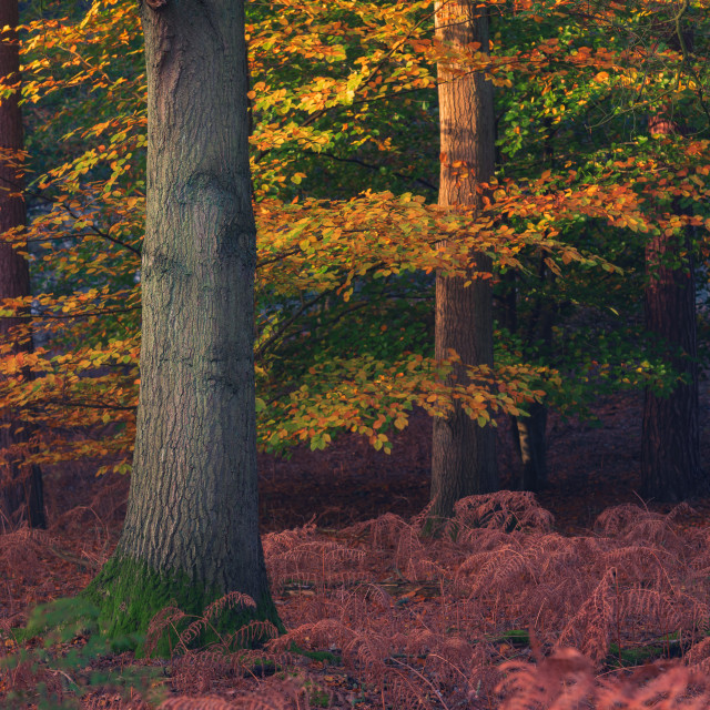 """Pine trees and beech trees with autumn leaves ii."" stock image"
