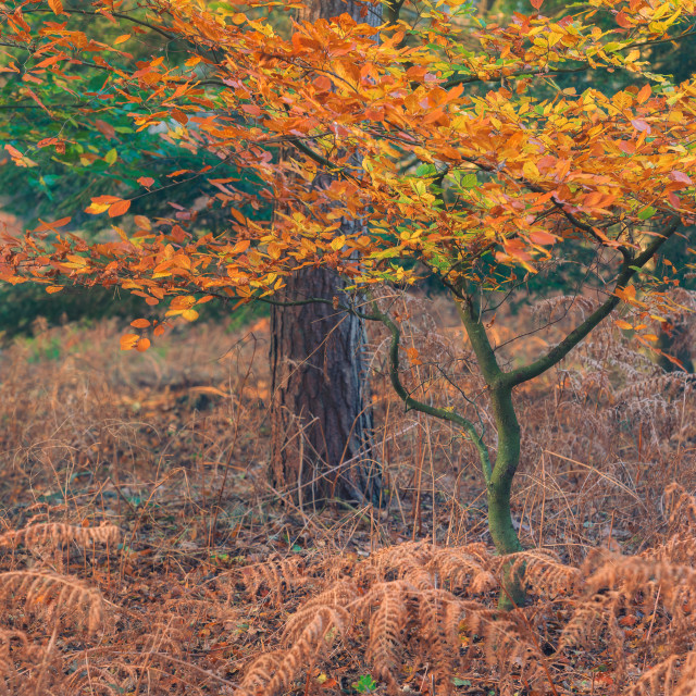 """Pine trees and beech trees with autumn leaves iii."" stock image"