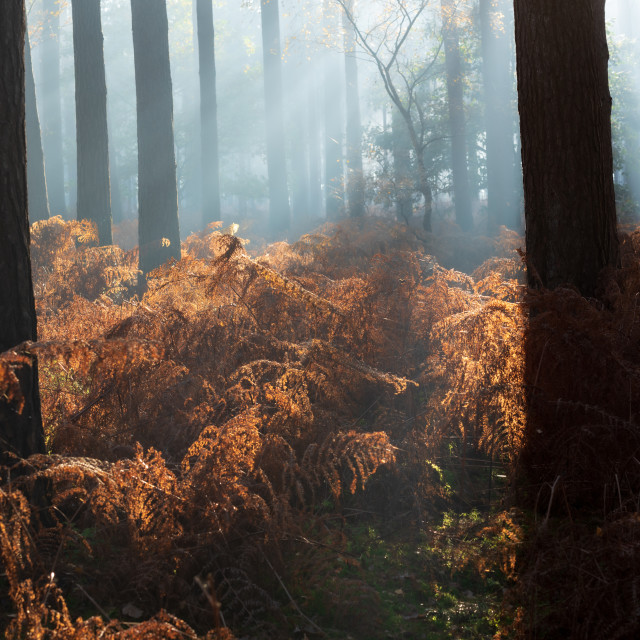 """Backlit pine woodlands with rusty bracken on misty morning i."" stock image"