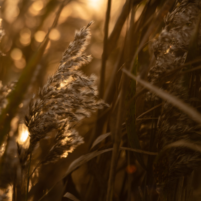 """Backlit reed seedheads closeup."" stock image"