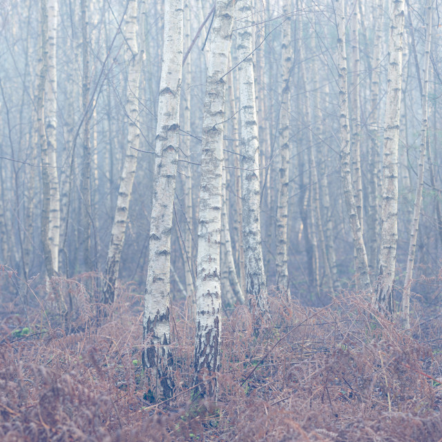 """Silver Birch forest and rusty bracken on misty autumn morning."" stock image"