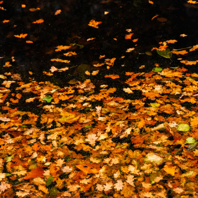 """Fallen oak leaves floating on water."" stock image"