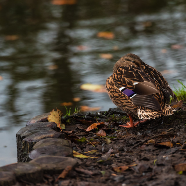 """Anas platyrhynchos. Mallard duck snoozing on riverbank."" stock image"