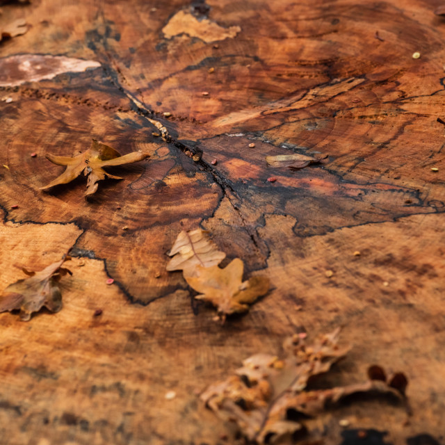 """Autumn oak leaves on tree stump."" stock image"