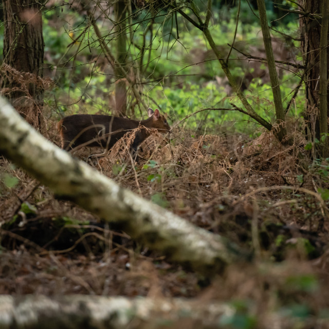 """Muntiacus. Muntjack deer in woodland."" stock image"
