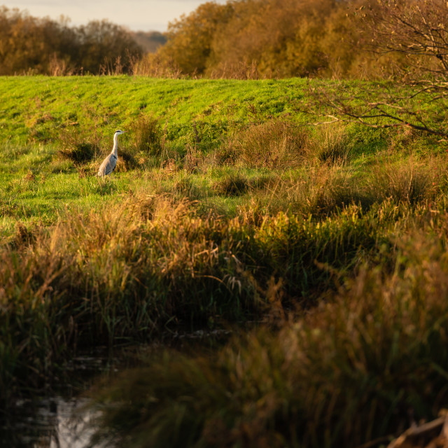 """Ardea cinerea. Grey Heron standing at Strumpshaw Fen."" stock image"