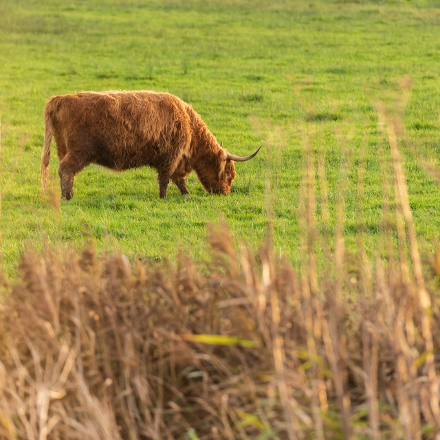 """Highland Cow in field ii."" stock image"