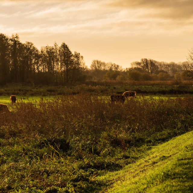 """Higland cattle in field ii."" stock image"