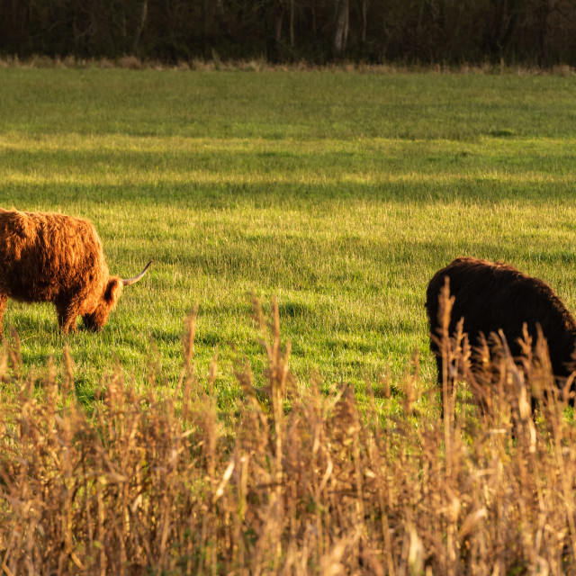"""Higland cattle in field i."" stock image"