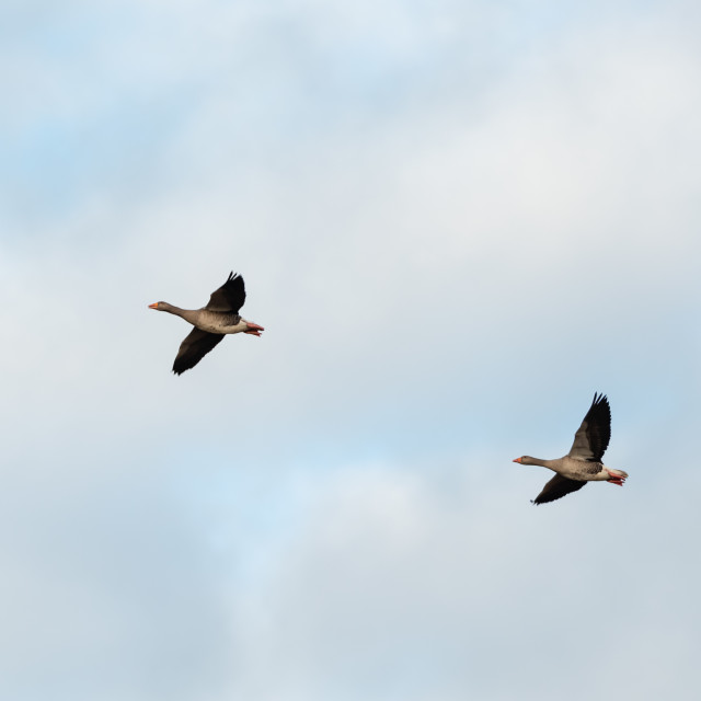 """anser anser. Two Greylag geese in flight against sky bg i."" stock image"