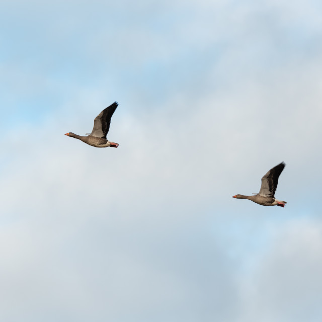 """anser anser. Two Greylag geese in flight against sky bg ii."" stock image"