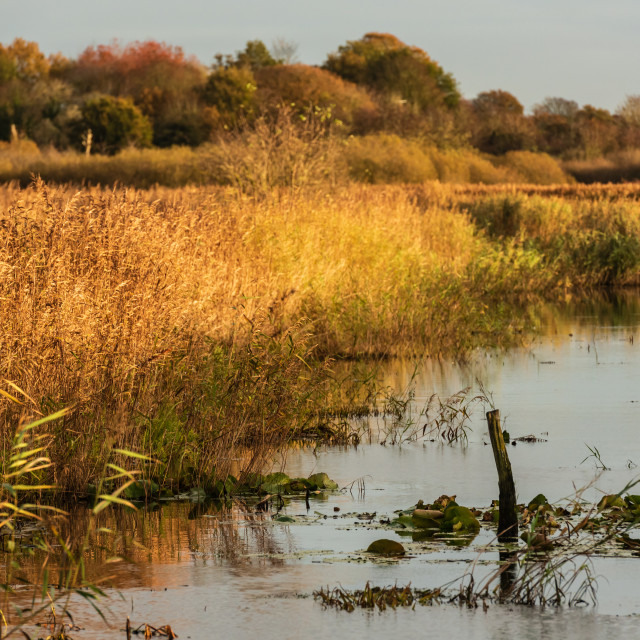 """Golden reeds on marshland waterway."" stock image"