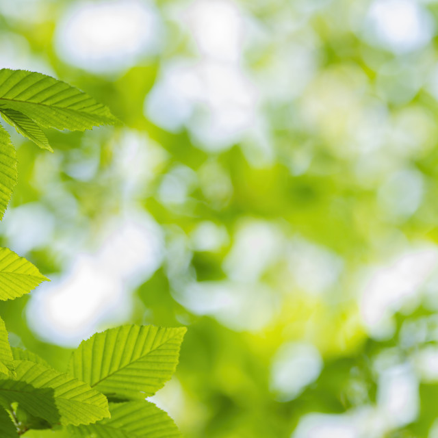"""Close up of hornbeam leaves at spring"" stock image"