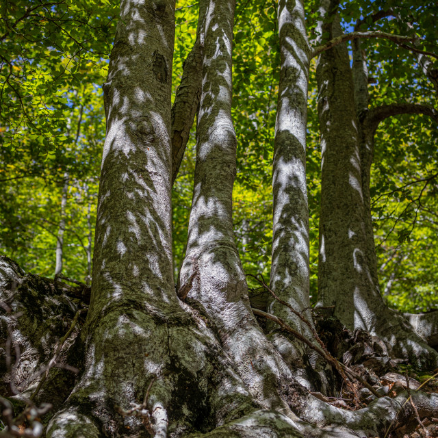 """Dense beech forest with tall trees."" stock image"