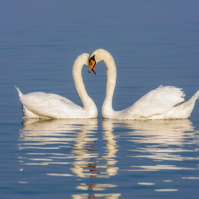 """Mute Swans displaying courting rituals"" stock image"