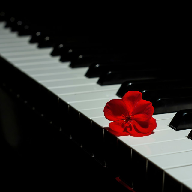"""Piano with a red geranium flower"" stock image"