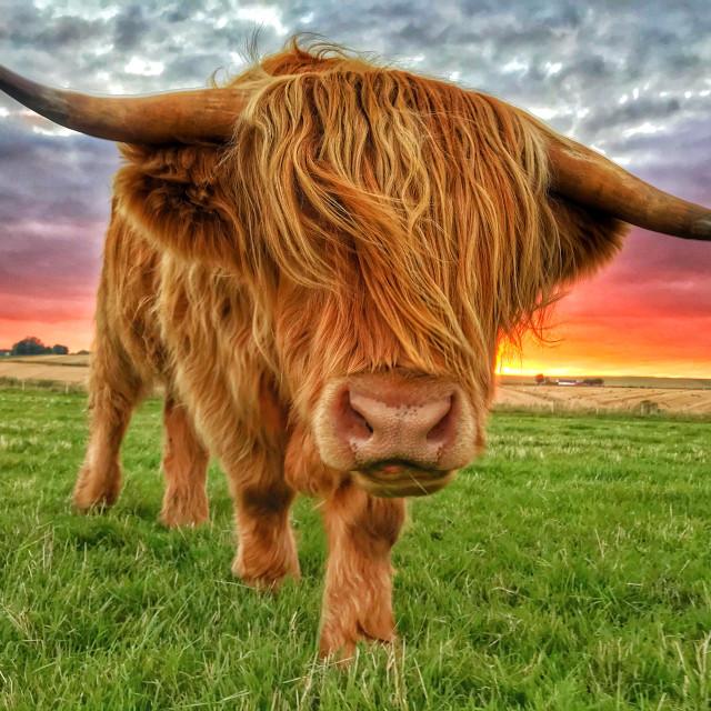 """Angus enjoying another sunset"" stock image"