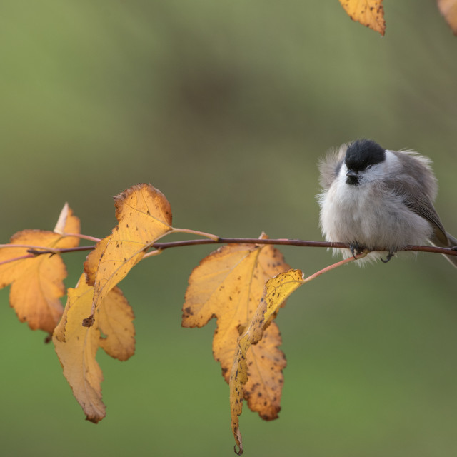"""""""Isolated willow tit perching on a branch on an autumn day"""" stock image"""
