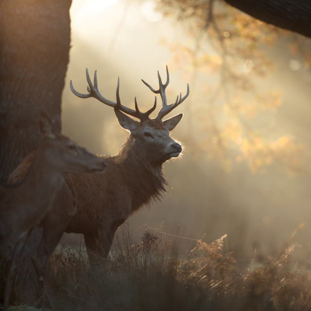 """""""A Majestic Stag in Autumn Mists"""" stock image"""
