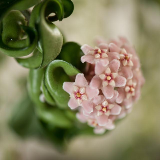 """Hoya Carnosa Compacta flowering plant closeup"" stock image"