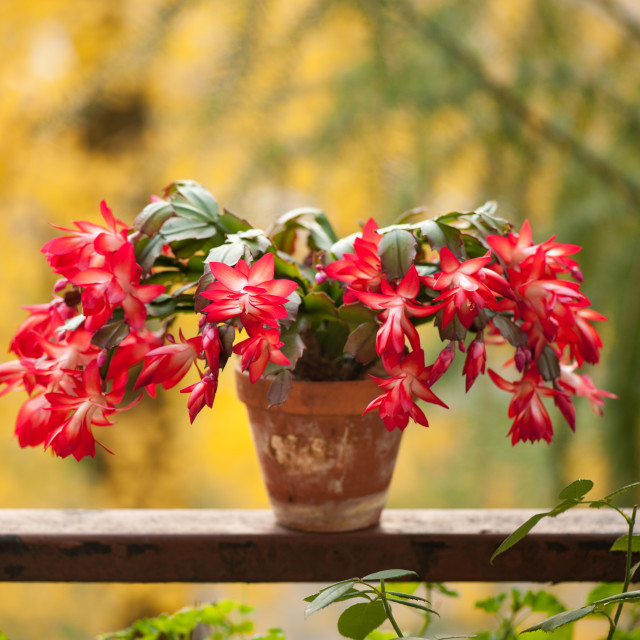 """Schlumbergera truncata red flowers"" stock image"