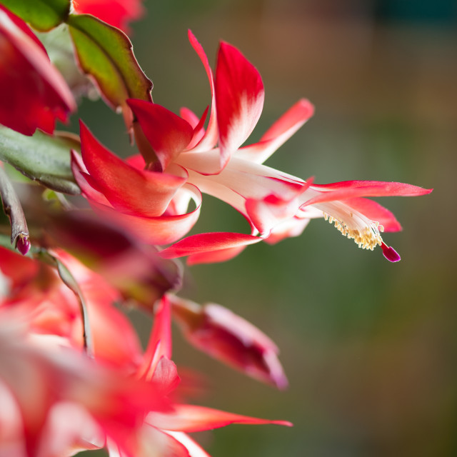 """Schlumbergera truncata red white flowers closeup"" stock image"