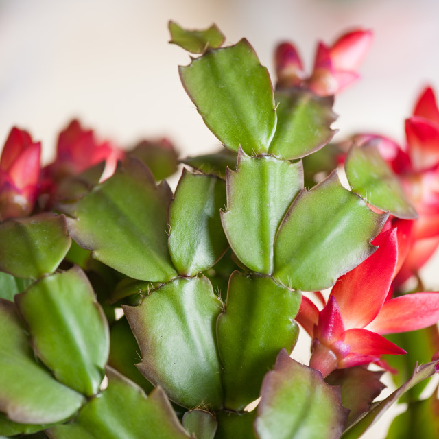 """Schlumbergera truncata flowers and stems"" stock image"