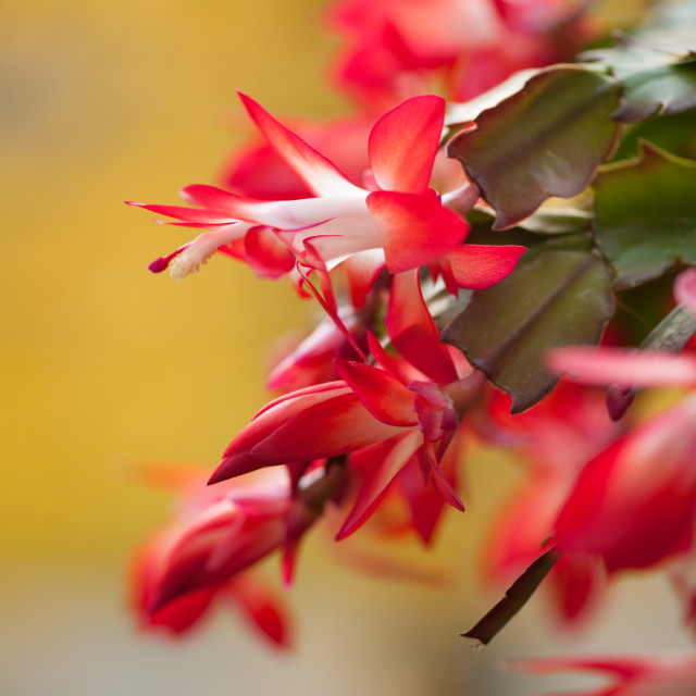 """Schlumbergera truncata red blooming"" stock image"