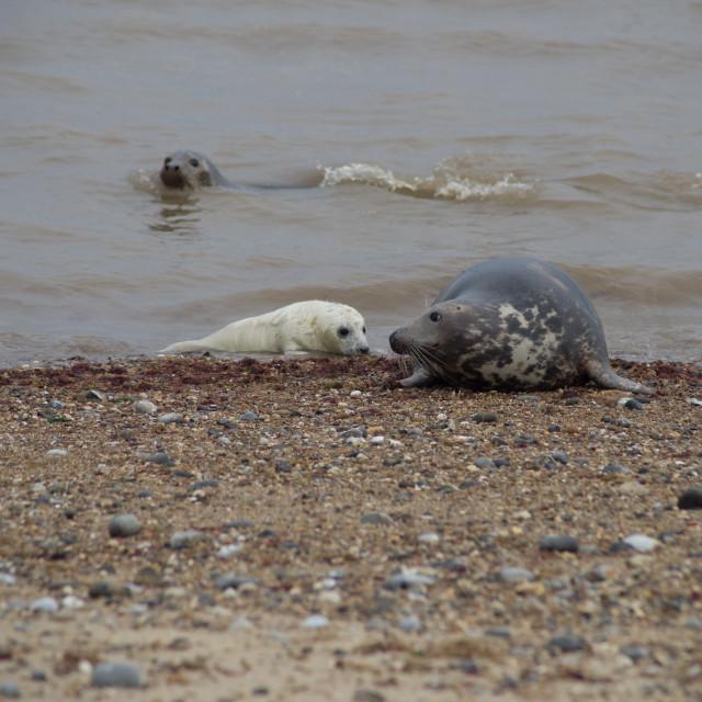 """Grey Seals and Pup"" stock image"