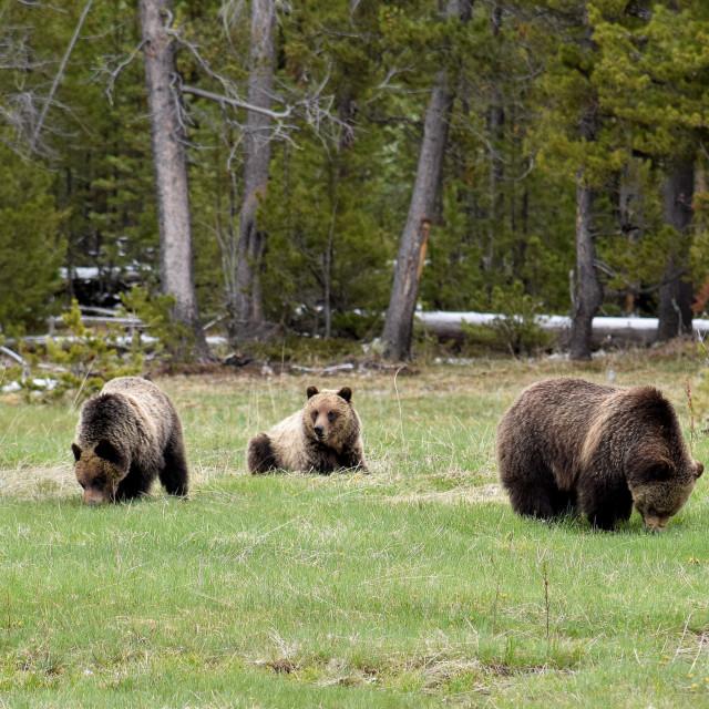 """""""Three Grizzlies"""" stock image"""