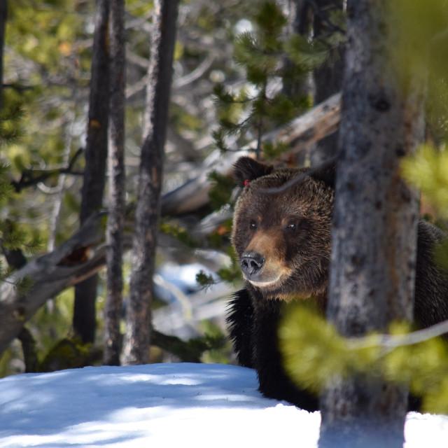 """""""Peeking Around a Tree"""" stock image"""