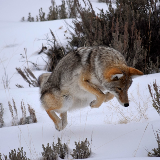 """""""Hunting Coyote"""" stock image"""