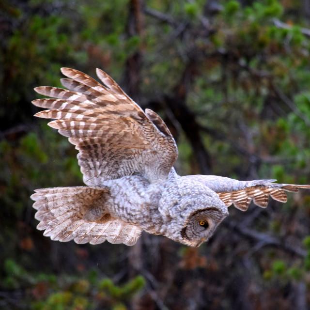 """Flight of the Owl"" stock image"