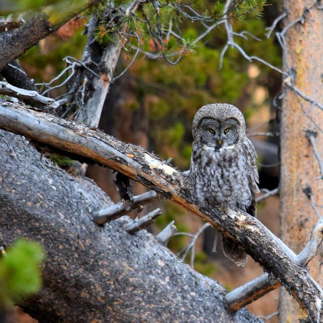 """Mad Owl"" stock image"