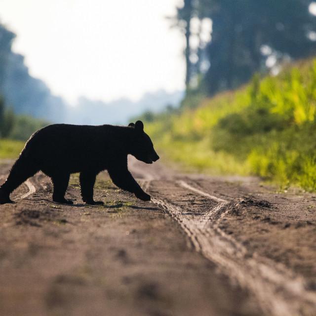 """Bear Crossing"" stock image"