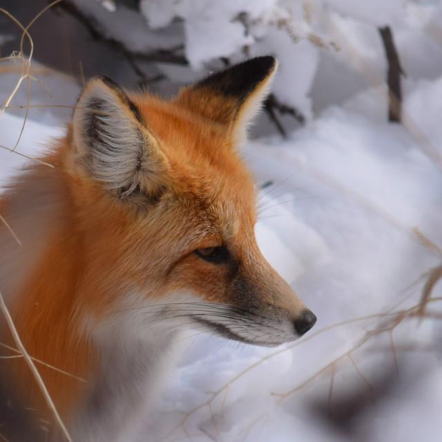 """Red Fox"" stock image"