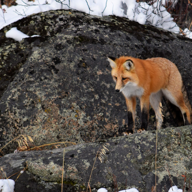 """""""Red Fox on Rock"""" stock image"""