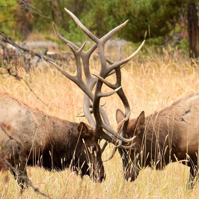 """Dueling Elk"" stock image"