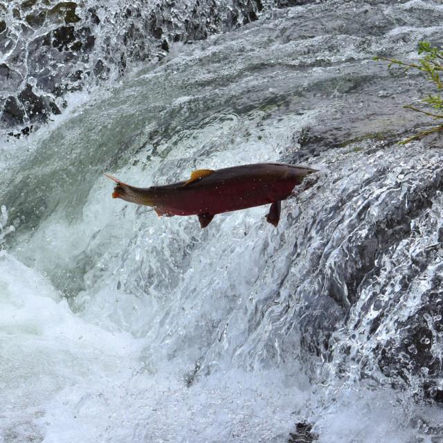 """Cutthroat Jumping Rapids"" stock image"