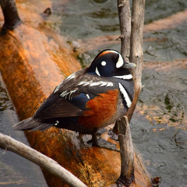"""Harlequin Duck"" stock image"