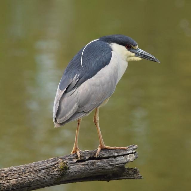 """Black Crowned Night Heron"" stock image"