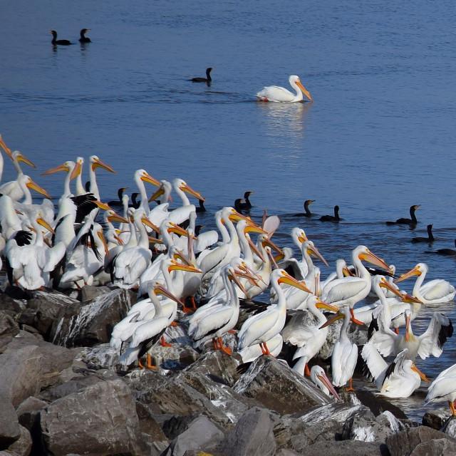 """White Pelicans"" stock image"