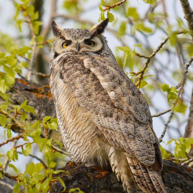 """""""Great Horned Owl"""" stock image"""