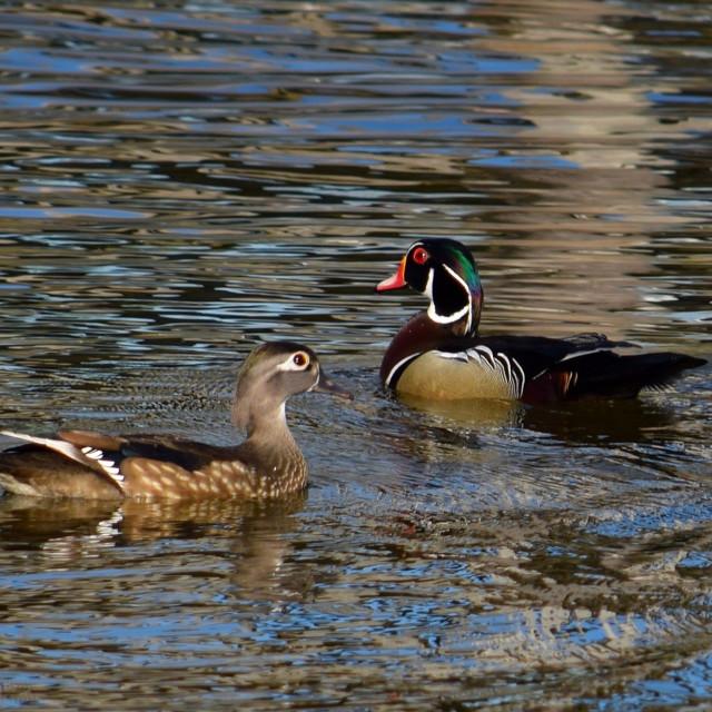 """""""Wood Ducks"""" stock image"""