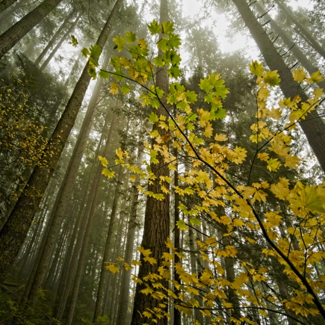"""""""Fall Colors Among the Evergreens"""" stock image"""