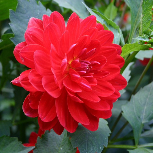 """""""Dahlia Red Velvet"""" stock image"""