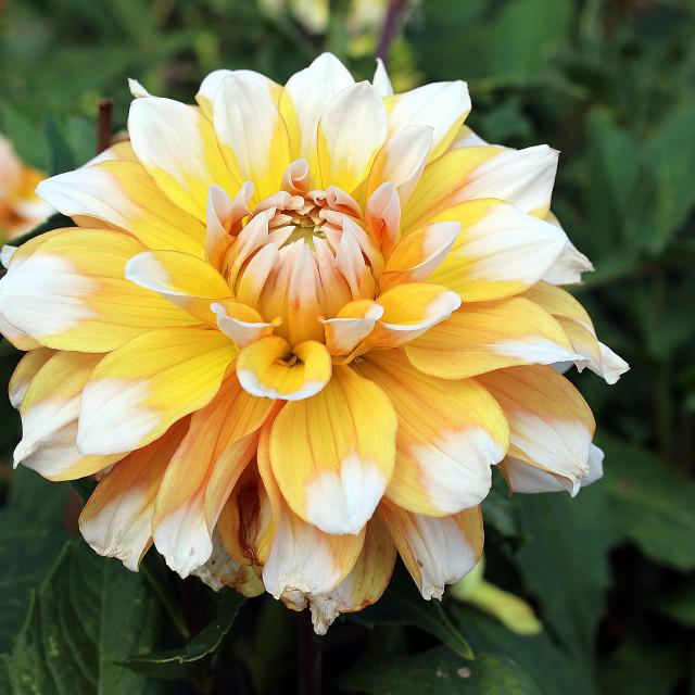 """""""Dahlia Grandma's Lemon Pie"""" stock image"""