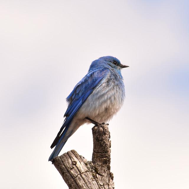 """Mountain Bluebird"" stock image"